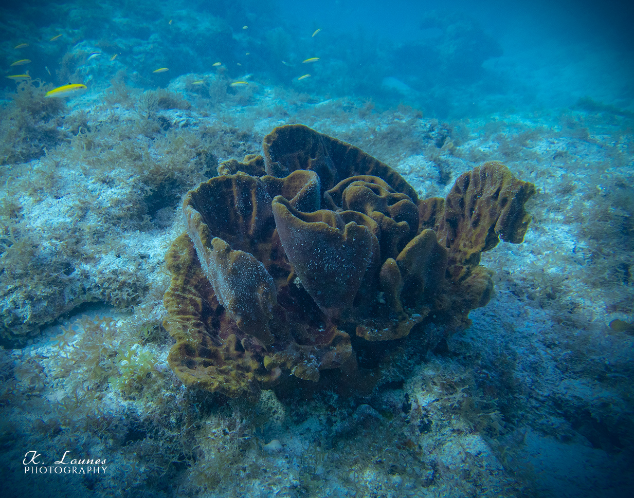 Reef Rose